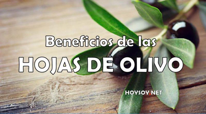 Beneficios de la hoja de olivo
