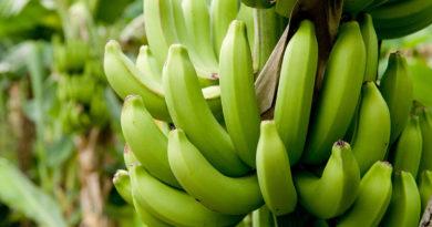 Beneficios del plátano verde